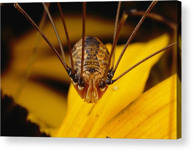 Animals Acrylic Print featuring the photograph Close View Of A Daddy Longlegs by Darlyne A. Murawski