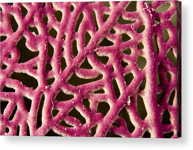 Patterns Acrylic Print featuring the photograph Closeup Detail Of A Pink Sea Fan by Tim Laman
