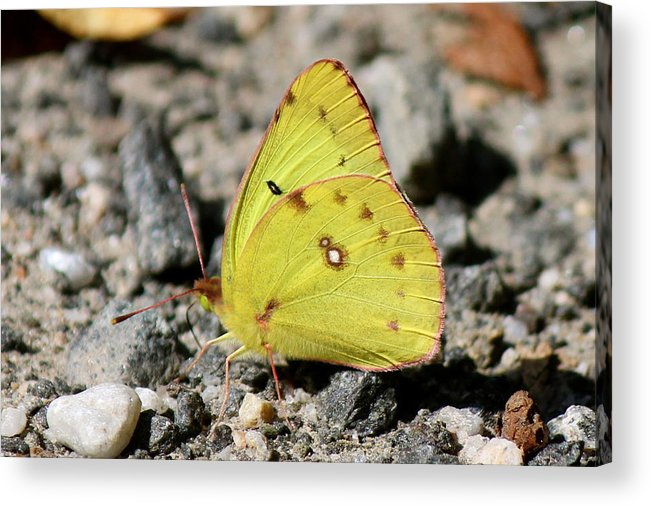 Nature Acrylic Print featuring the photograph Clouded Sulphur by David Pickett