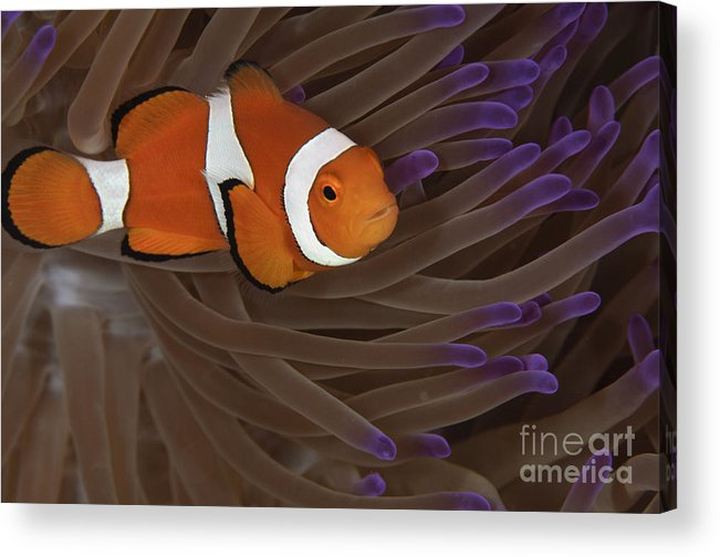 Osteichthyes Acrylic Print featuring the photograph Clownfish In Purple Tip Anemone by Todd Winner