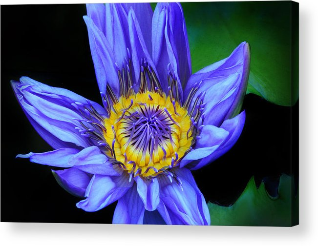Waterlily Acrylic Print featuring the photograph Colorful Lily by Dave Mills
