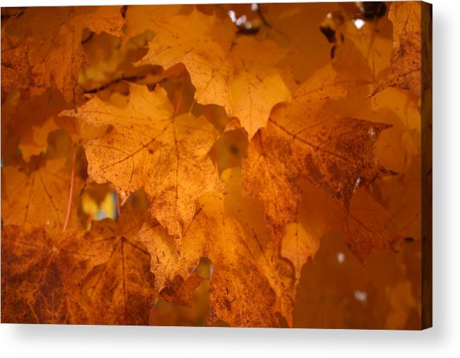 Colorful Acrylic Print featuring the photograph Colorful Maple Leaves In Fall by Vincent Duis