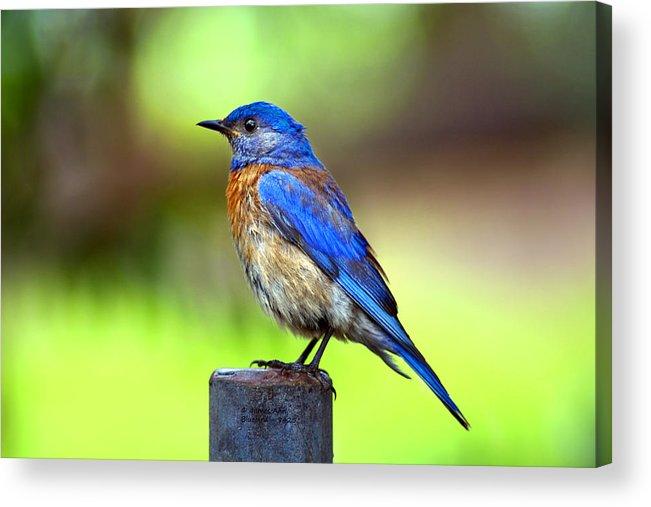 Western Bluebird (sialia Mexicana) Acrylic Print featuring the photograph Colorful - Western Bluebird by James Ahn