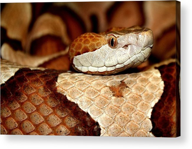 Snake Acrylic Print featuring the photograph Copper by Paulette Thomas