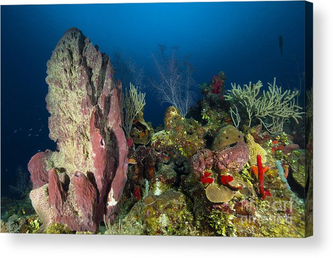 Sea Life Acrylic Print featuring the photograph Coral Reef And Sponges, Belize by Todd Winner