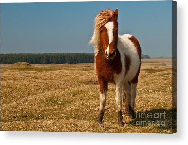 Pony Acrylic Print featuring the photograph Cornish Pony by Rob Hawkins