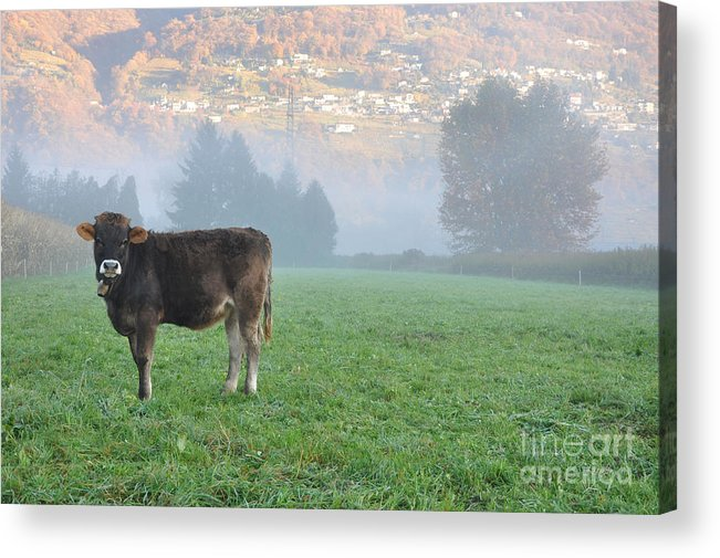 Cow Acrylic Print featuring the photograph Cow On The Foggy Field by Mats Silvan