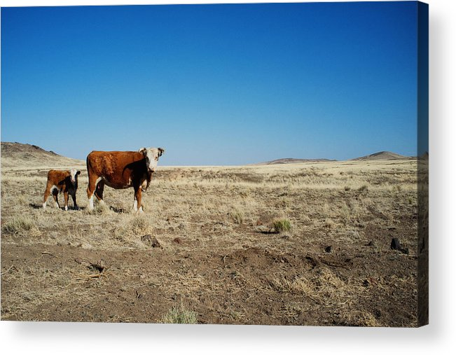 Cows Acrylic Print featuring the photograph Cows At Sp Crater by Tanya Harrison