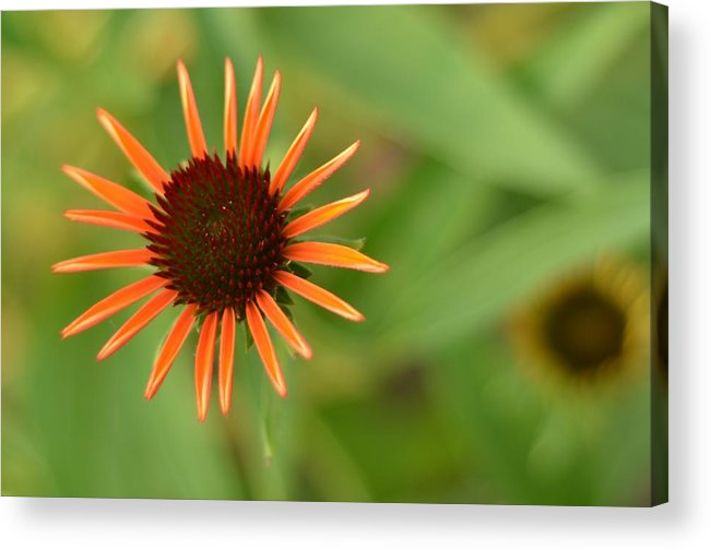 Orange Acrylic Print featuring the photograph Crazy Coneflower Patch by Maria Suhr