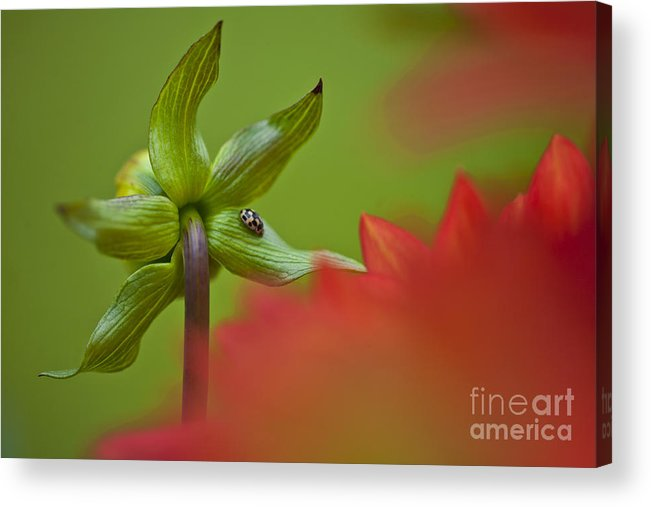 Nature Acrylic Print featuring the photograph Dahlia Bud Back Side by Heiko Koehrer-Wagner