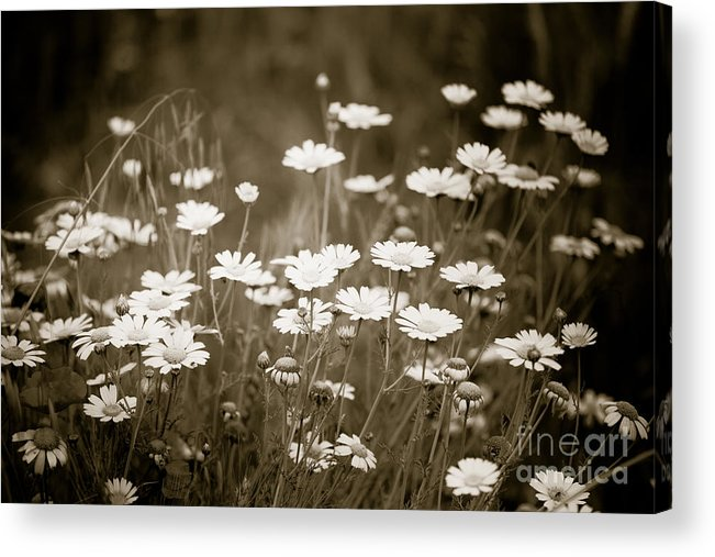 Flower Acrylic Print featuring the photograph Daisies by Gabriela Insuratelu