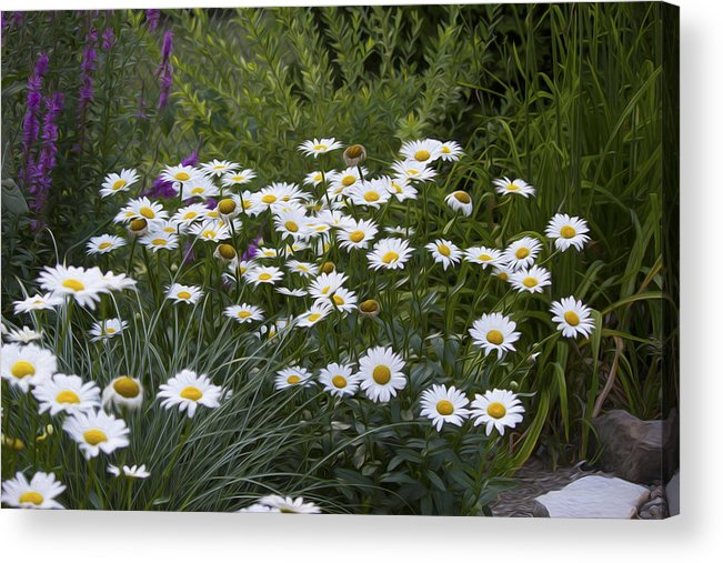 Flower Acrylic Print featuring the photograph Daisy 1 by Michel DesRoches