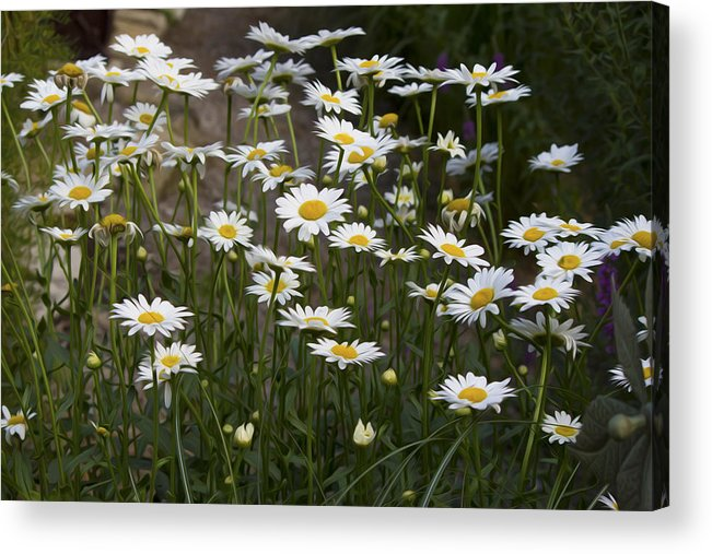 Flower Acrylic Print featuring the photograph Daisy 2 by Michel DesRoches