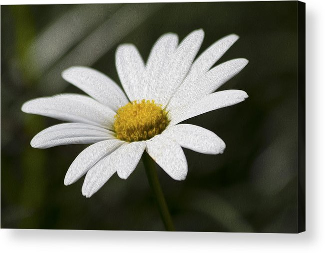 Flower Acrylic Print featuring the photograph Daisy 3 by Michel DesRoches