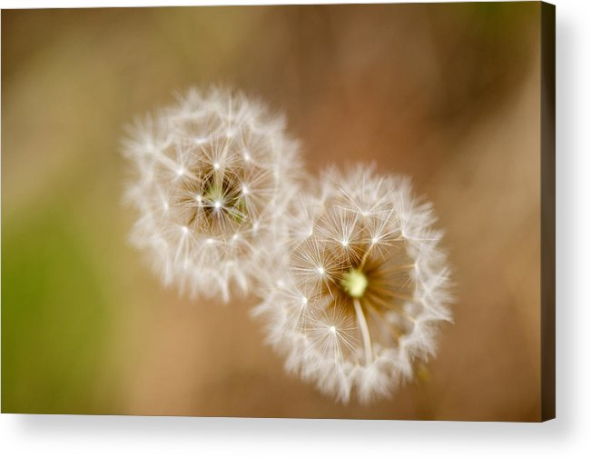 Dandelions Acrylic Print featuring the photograph Dandelions by Perry Van Munster