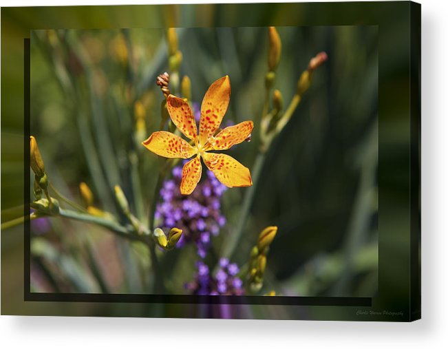 Flower Acrylic Print featuring the photograph Day Lilly 46 by Charles Warren