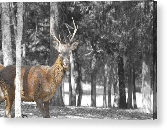Deer Acrylic Print featuring the photograph Deer In The Forest by Douglas Barnard