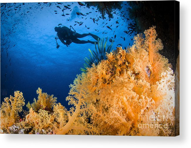 Crinoid Acrylic Print featuring the photograph Diver Swimms Above Soft Coral, Fiji by Todd Winner