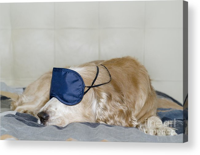 Dog Acrylic Print featuring the photograph Dog Sleeping With A Sleep Mask by Mats Silvan