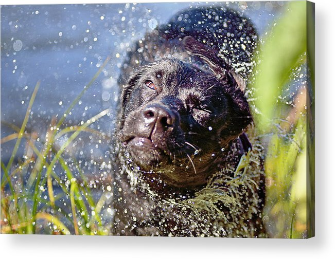 Labradour Retreiver Acrylic Print featuring the photograph Doing The Shake by Susan Capuano