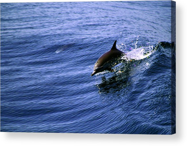 Dolphin Acrylic Print featuring the photograph Surfrider by Cliff Wassmann