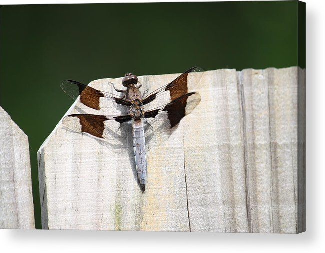 Dragon Fly Acrylic Print featuring the photograph Dragon Fly by Taylor Todd