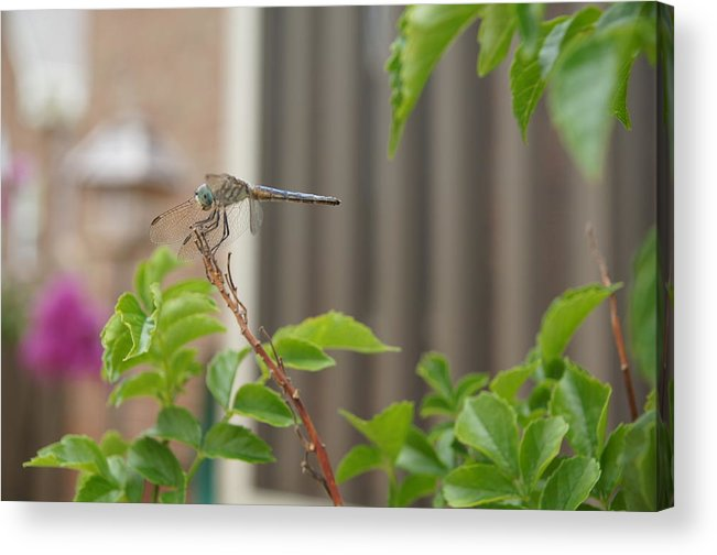 Dragonfly Acrylic Print featuring the photograph Dragonfly In Nature by Megan Cohen