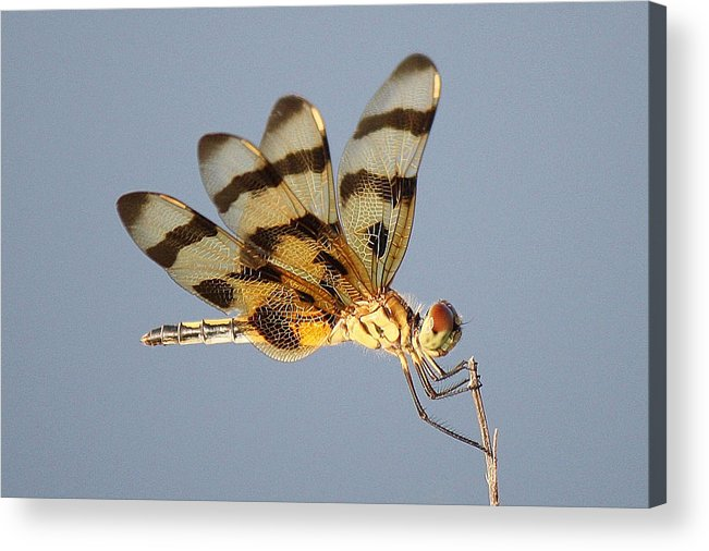 Dragonfly Acrylic Print featuring the photograph Dragonfly With A Little Girl's Face by Paulette Thomas