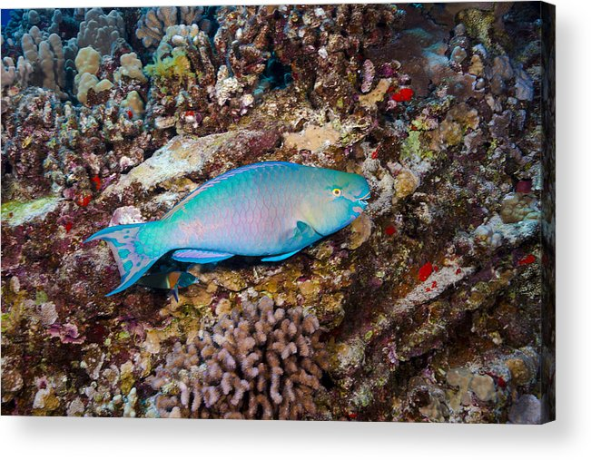 Animal Acrylic Print featuring the photograph Ember Parrotfish by Dave Fleetham