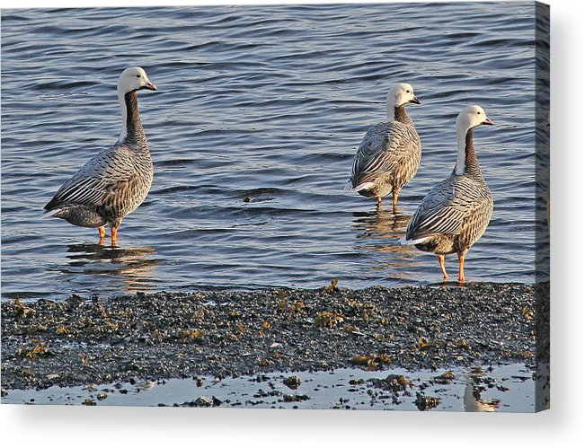 Emperor Geese Acrylic Print featuring the photograph Emperor On The Look Out by Sam Amato