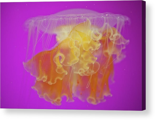 Jellyfish Acrylic Print featuring the photograph Enchanted Jellyfish 2 by Pam Fong