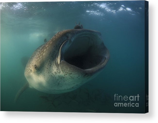 La Paz Acrylic Print featuring the photograph Feeding Whale Shark, La Paz, Mexico by Todd Winner