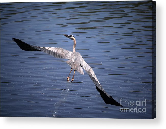 Flying Acrylic Print featuring the photograph Feeling Like A Phoenix Again by Danuta Bennett