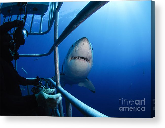 Carcharodon Carcharias Acrylic Print featuring the photograph Female Great White And Underwater by Todd Winner