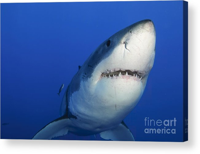 Carcharodon Carcharias Acrylic Print featuring the photograph Female Great White Shark, Guadalupe by Todd Winner