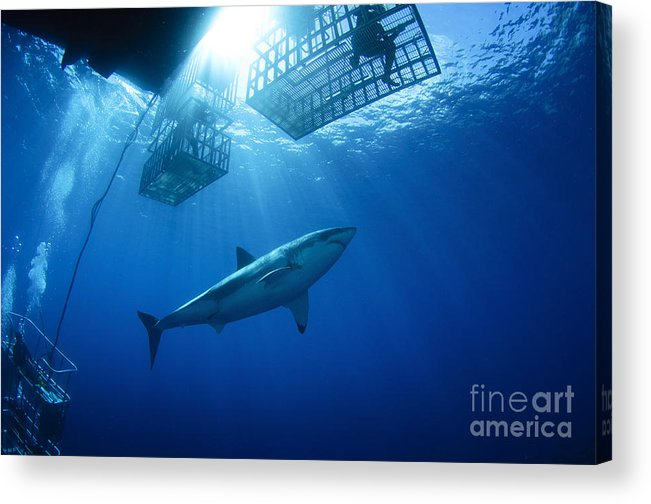 Carcharodon Carcharias Acrylic Print featuring the photograph Female Great White With Cages by Todd Winner