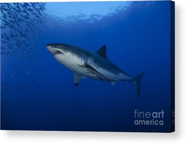 Osteichthyes Acrylic Print featuring the photograph Female Great White With Remora by Todd Winner