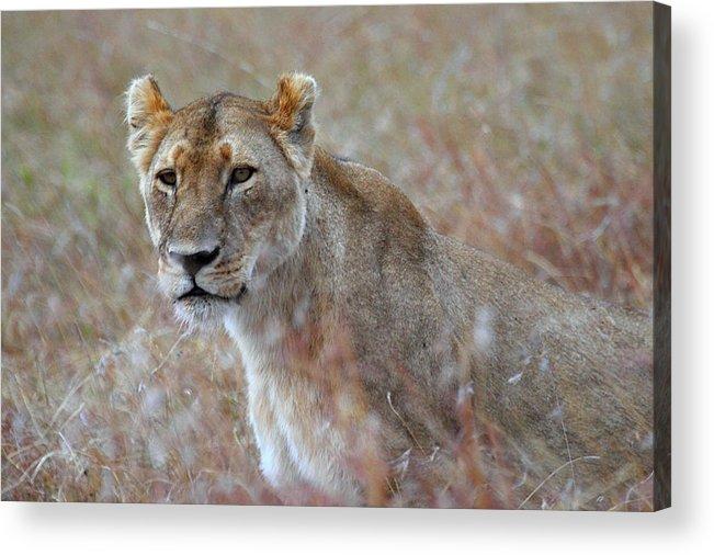 Lion Acrylic Print featuring the photograph Female Lion Portrait by Carole-Anne Fooks