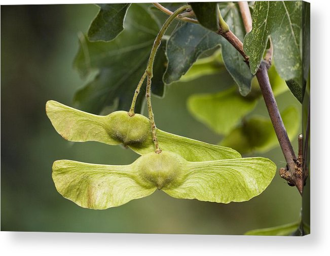 Field Maple Acer Campestre Fruits Acrylic Print By Bob Gibbons