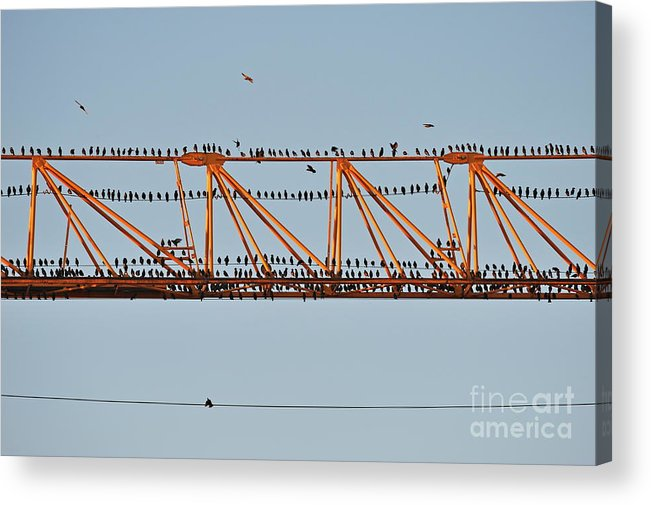 Conformity Acrylic Print featuring the photograph Flock Of Birds Perching On Construction Crane by Sami Sarkis