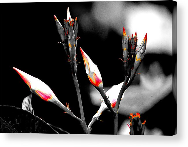 Flower Acrylic Print featuring the photograph Flower 12 by Burney Lieberman
