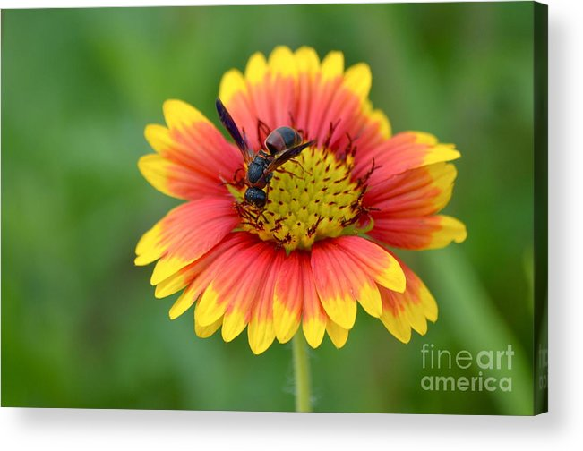 Flower Acrylic Print featuring the photograph Flower And Insect by Kathy Gibbons