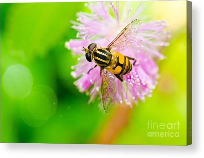 Flower Flies Acrylic Print featuring the photograph Flower Files On Flower by Peerasith Chaisanit