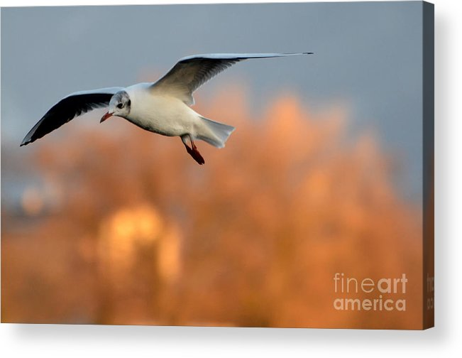 Bird Acrylic Print featuring the photograph Flying Gull by Mats Silvan