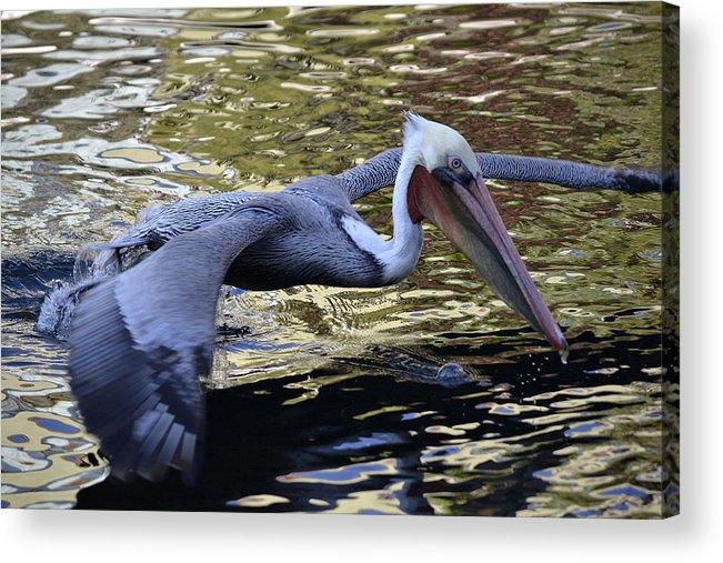 California Brown Pelican Acrylic Print featuring the photograph Flying Over Liquid Gold by Fraida Gutovich