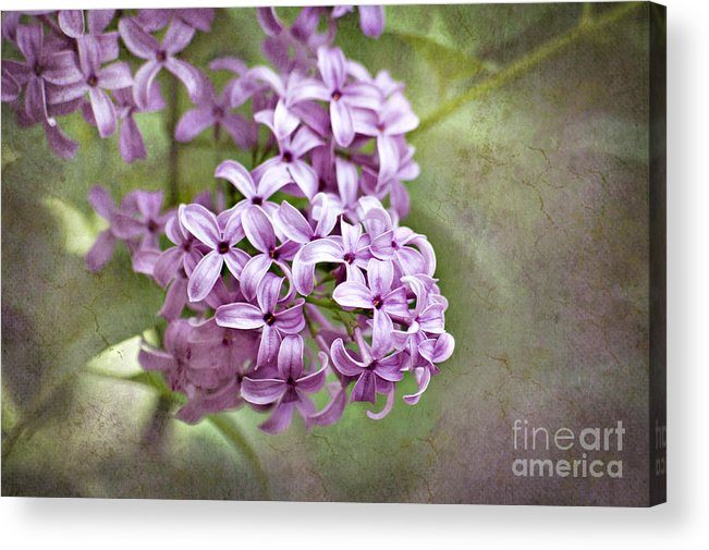 Lilac Acrylic Print featuring the photograph Fragrant Purple Lilac by Cheryl Davis