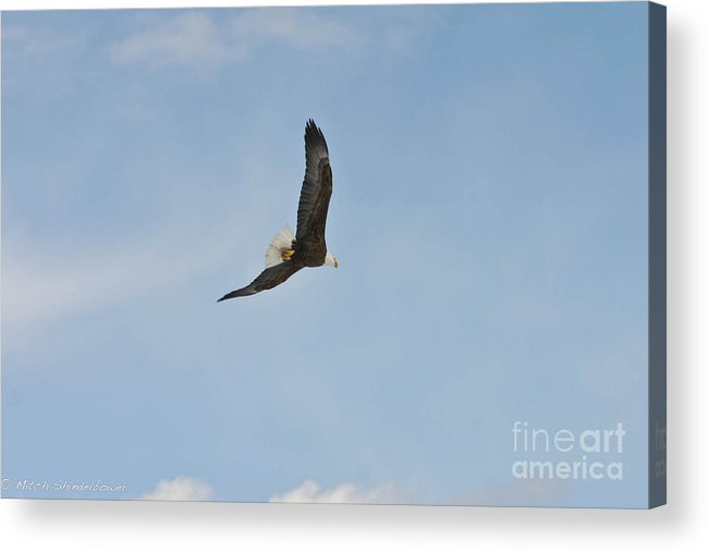 Bald Eagle Acrylic Print featuring the photograph Free Flight by Mitch Shindelbower