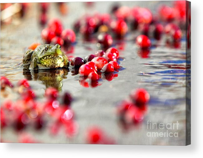 Fall Acrylic Print featuring the photograph Frog At A Cape Cod Cranberry Bog by Matt Suess