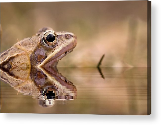Amphibian Acrylic Print featuring the photograph Frog Reflection by Odon Czintos