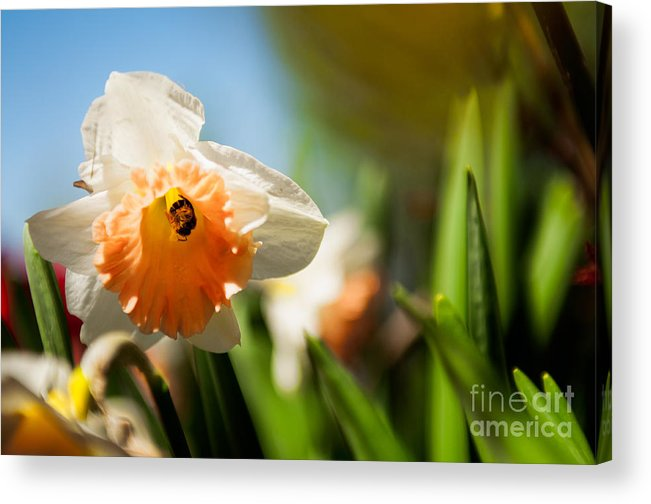 Daffodils Photographs Acrylic Print featuring the photograph Golden Daffodils by Venura Herath
